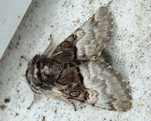 Nut tree tussock (Colocasis coryli) photographed 1 April 2009 by S Calvert-Fisher