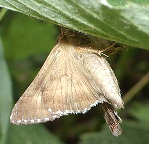Moth, photographed 26 June 2005 by B Crowley