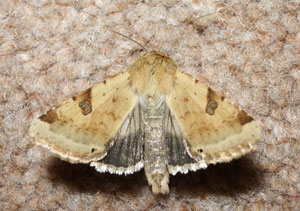 Bordered Straw, photographed 07 Sept 2006 by B Crowley, ID by Bob Eeles