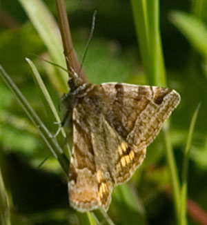 Burnet companion, photographed 03 June 2006 by B Crowley