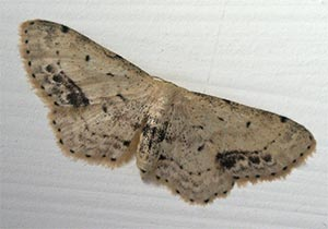Single-dotted wave, photographed 01/08/05 by B Crowley; ID by Bob Eeles