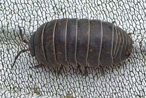 Pill woodlouse photographed 30 April 2005 by B Crowley, ID by S Gregory
