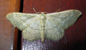 Riband wave, photographed 24 July 2008 by B Crowley