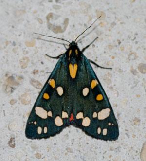 Scarlet Tiger Moth (Callimorpha dominula) photogtaphed 29/30 June 2009 by B Crowley