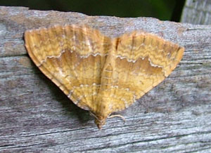 Yellow Shell moth (Camptogramma bilineata) photographed 16 July 2008 by S Calvert-Fisher