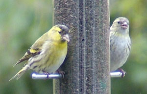 Siskins (Carduelis spinus) photographed 23 March 2009 by S Calvert-Fisher