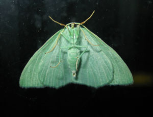 Small emerald (Hemistola chrysoprasaria) photographed 24 July 2008 by B Crowley