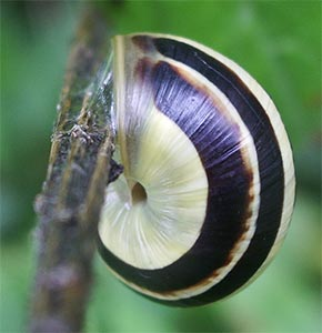 White-lipped snail, photographed 31 July 2005 by B Crowley