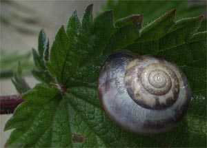 Kentish Snail (Monacha cantiana) on nettle leaf, photographed 31 May 2005 by B Crowley, ID by S Gregory