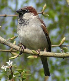 House sparrow (Passer domesticus) photographed  19 April 2009 by S Calvert-Fisher