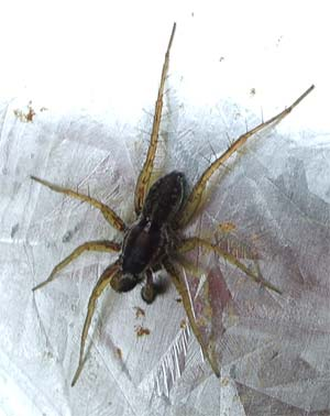 Pardosa nigriceps, photographed 5 June 2005 by B Crowley