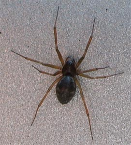 Bathyphantes money spider, photographed 11 June 2005 by B Crowley