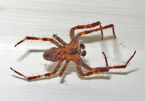 Araneus diadematus  - male- ventral view, photographed 13 July 2006 by B Crowley