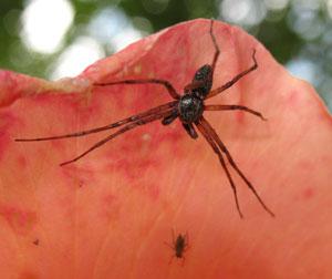 Philodromus dispar (male) photographed 16 June 2008 by B Crowley