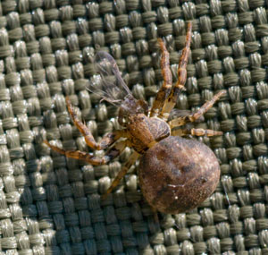Ozyptila praticola. - a crab spider, photographed 29 May 2009 by B Crowley. (Probable id: diptera.info)
