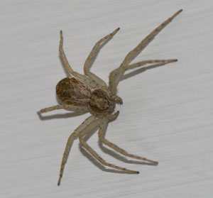 Philodromus dispar (female) photographed 30 May 2009 by B Crowley