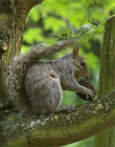 Grey Squirrel  photographed 4 June 2004 by B Crowley
