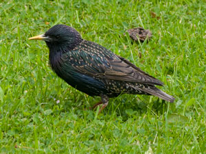 Starling (Sturnus vulgaris) photographed 22 May 2009 by B Crowley