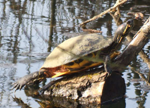 North-American Red-eared/Yellow-bellied Terrapin (Trechemys scripta), photographed March 2012 by Daphne King