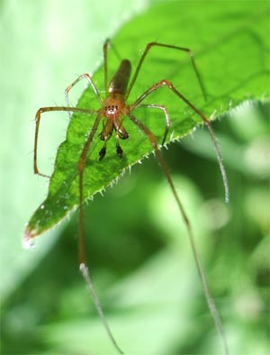 Tetragnatha spider, photographed 30 May 2005 by B Crowley