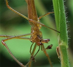 Tetragnatha montana, photographed 26 June 2005 by B Crowley