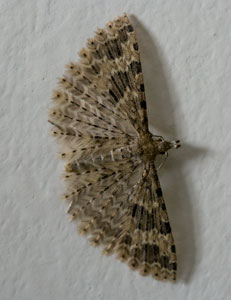 Twenty-plume moth (Alucita hexadactyla) photographed 12 April 2009 by B Crowley