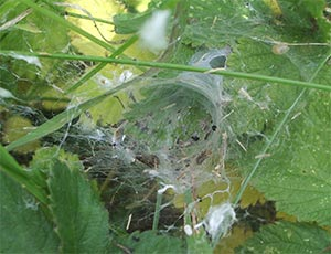 Web of Agelena Labyrinthica, photographed 26 June 2005 by B Crowley